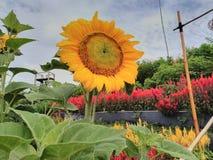 Fullständigt en blomsolros i centrala Java arkivfoton