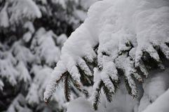 Fullständigt snöig granträdfilial Arkivbilder