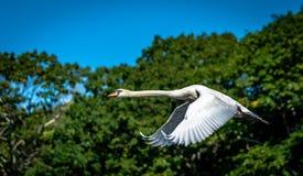 Fullt flyg för svan mot träd royaltyfri fotografi