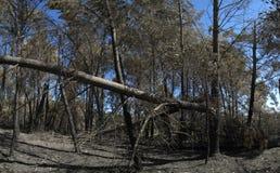 Fullt fullvuxet sörjer träd som är brutna och bränns av firestormen - stora Pedrogao Royaltyfri Bild