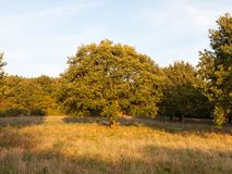 Fullt grönt sommarträd i ljus för gräsfält vid uppsättningen för solljussol Arkivbild