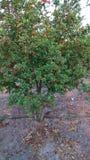 Fullt granatäppleträd Arkivfoto