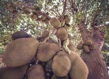 Fullt Jackfruitträd Royaltyfri Foto