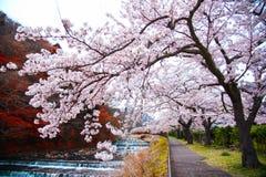 Fullt parkerar blomma för körsbärsröd blomning på Hakone, Japan royaltyfri bild
