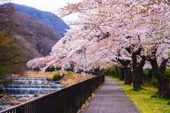 Fullt parkerar blomma f?r k?rsb?rsr?d blomning p? Hakone, Japan arkivbilder
