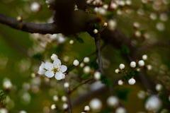 Fullt utvecklad blomma av den körsbärsröda plommonet fotografering för bildbyråer