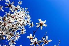 Fullt utvecklade magnoliablommor Arkivbild