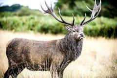 Fullvuxen hankronhjort eller hjort, den manliga röda hjorten Arkivfoton