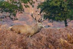 Fullvuxen hankronhjort för röda hjortar bland bräken Royaltyfria Foton