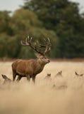 Fullvuxen hankronhjort för röda hjortar (Cervuselaphus) Arkivfoto