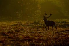Fullvuxen hankronhjort för röda hjortar (Cervuselaphus) i morgon royaltyfri bild
