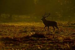 Fullvuxen hankronhjort för röda hjortar (Cervuselaphus) i morgon royaltyfri foto
