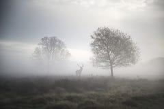 Fullvuxen hankronhjort för röda hjortar i atmosfäriskt dimmigt höstlandskap Royaltyfria Bilder