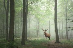 Fullvuxen hankronhjort för röda hjortar i dimmiga för för frodigt grönt sagatillväxtbegrepp Royaltyfria Bilder