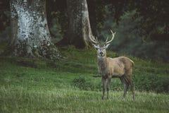 Fullvuxen hankronhjort för röda hjortar i skogsmark i Skottland i höst royaltyfri foto