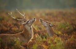Fullvuxen hankronhjort för röda hjortar med en hind royaltyfri bild