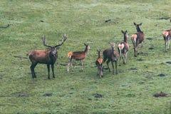 Fullvuxen hankronhjort för röda hjortar med gruppen av hindar i äng Royaltyfria Foton