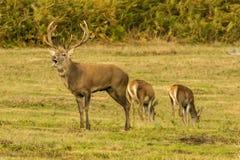 Fullvuxen hankronhjort för röda hjortar med hindar Arkivbild