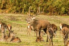 Fullvuxen hankronhjort för röda hjortar med hindar Fotografering för Bildbyråer