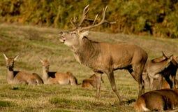 Fullvuxen hankronhjort för röda hjortar med hindar Royaltyfri Bild