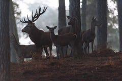 Fullvuxen hankronhjort för röda hjortar med hindar i en dimmig höstskog Royaltyfri Fotografi