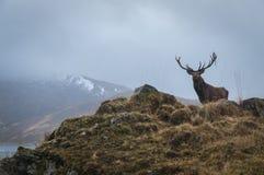Fullvuxen hankronhjort för röda hjortar och horn på kronhjortdressing, Lochaber, Skottland Arkivfoton