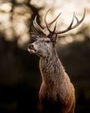 Fullvuxen hankronhjort för röda hjortar på mörk bakgrund Fotografering för Bildbyråer