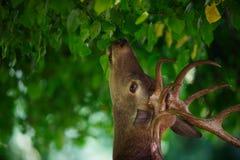 Fullvuxen hankronhjort för röda hjortar som äter från ett träd arkivbild