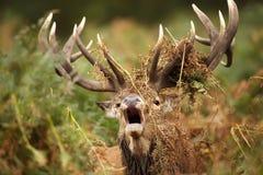 Fullvuxen hankronhjort för röda hjortar som vrålar med ormbunkar som draperas runt om dess horn på kronhjort fotografering för bildbyråer