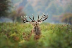 Fullvuxen hankronhjort för röda hjortar under brunsten Royaltyfria Foton