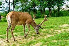 fullvuxen hankronhjort för red för cervushjortelaphus Royaltyfri Foto