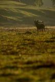 Fullvuxen hankronhjort för röda hjortar (Cervuselaphus) i morgon Arkivfoton