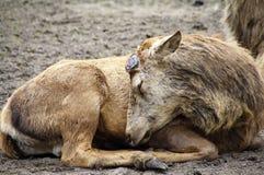 Fullvuxen hankronhjort för röda hjortar, i att sova för vinterlag Royaltyfri Foto