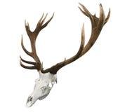 fullvuxen hankronhjort för sika för monterad punkt för 17 horns Royaltyfria Bilder