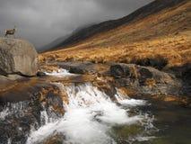 Fullvuxen hankronhjort i Glen Rosa - ö av Arran - Skottland arkivfoto
