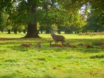 Fullvuxen hankronhjort och hindar för röda hjortar Royaltyfri Foto