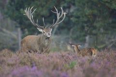 Fullvuxen hankronhjort och son för röda hjortar Royaltyfri Fotografi