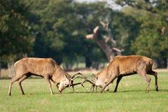 fullvuxen hankronhjort två för horn på kronhjorthjortstridighet Royaltyfri Bild