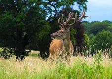 Fullvuxen hankronhjortanseende för röda hjortar i en äng Arkivfoton