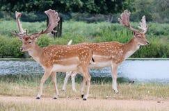 2 fullvuxen hankronhjortdovhjortar Fotografering för Bildbyråer