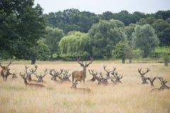 Fullvuxen hankronhjortflock för röda hjortar i sommarfältlandskap Royaltyfria Bilder