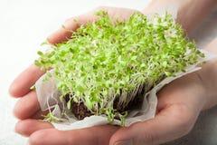 Fullvuxen hem- mikro-gräsplan grönsallat i händer, närbild arkivfoton