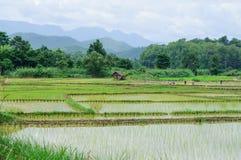 Fullvuxen risfält Arkivbild