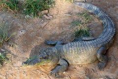 Fullvuxet in i en krokodil som ligger på sanden i Thailand Royaltyfri Bild