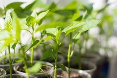 fullvuxna groddar för plantor av spansk peppar i koppar på fönsterbrädan royaltyfri bild
