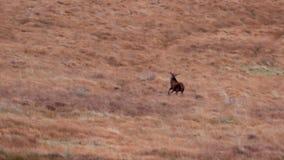 Fullvuxna hankronhjortar för röda hjortar och hindar, Cervuselaphus som kör och betar bland de gräs- lutningarna i Sutherland'sen stock video