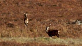 Fullvuxna hankronhjortar för röda hjortar och hindar, Cervuselaphus som kör och betar bland de gräs- lutningarna i Sutherland'sen arkivfilmer