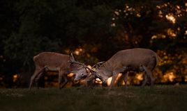 Fullvuxna hankronhjortar för röda hjortar som är brunstiga på solnedgången Royaltyfria Foton