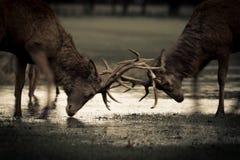 Fullvuxna hankronhjortar för röda hjortar som är brunstiga på vatten Arkivfoton