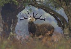 Fullvuxna hankronhjorten för röda hjortar bölar mellan den naturliga ramen av vegetation Royaltyfri Fotografi